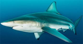 Blacktip Shark Review